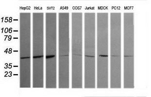 Western blot of extracts (35 ug) from 9 different cell lines by using g anti-MAPK13 monoclonal antibody (HepG2: human; HeLa: human; SVT2: mouse; A549: human; COS7: monkey; Jurkat: human; MDCK: canine; PC12: rat; MCF7: human).