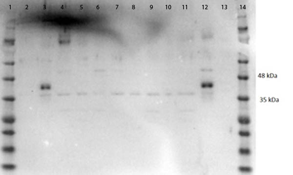 MAPK3 / ERK1 Antibody - Western Blot of rabbit Anti-ERK1 C-Term Antibody. Lane 1:MW Ladder (Opal Pre-Stained). Lane 2:HEK293 WCL. Lane 3: HeLa WCL. Lane 4: MCF-7 WCL. Lane 5: Jurkat WCL. Lane 6: A431 WCL. Lane 7: A549 WCL. Lane 8: LNCaP WCL. Lane 9: MOLT-4 WCL. Lane 10: Ramos WCL. Lane 11: Raji WCL. Lane 12: A-172 WCL. Lane 13: NIH/3T3 WCL. Lane 14: MW Ladder. Load: 10ng. Blocking: 1% Casein/TTBS buffer. Primary Antibody: ERK1 at 1µg/mL in 1% Casein/TTBS overnight at 4°C. Secondary Antibody: Goat anti-Rabbit HRP 1:30,000 in 1% Casein/TTBS for 1 hr at RT. Expect: ~44kDa.