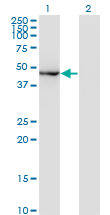 Western blot of MAPK8 expression in transfected 293T cell line by MAPK8 monoclonal antibody, clone 2F3.