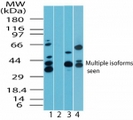 Western blot of MAPKAP1 interacting protein 1 in human skeletal muscle lysate in the 1) absence and 2) presence of immunizing peptide, 3) mouse skeletal muscle lysate and 4) rat skeletal muscle lysate using antibody at2 ug/ml.