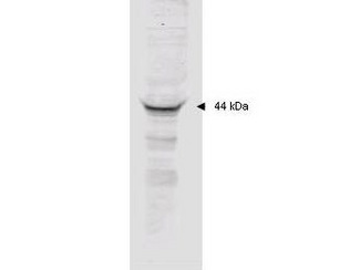 Anti-MAPKAP Kinase 2 Polyclonal Antibody - Western Blot. Affinity purified anti-MAPKAP Kinase 2 polyclonal antibody detects MK2 in unstimulated human HeLa whole cell lysate by western blot. Polyclonal rabbit-anti-MAPKAP Kinase 2 used at a 1:2000 dilution to detect 20 ug of whole cell lysate containing MK2. This antibody detects a single 44 kD protein as indicated in crude extracts prepared from either unstimulated or TNFa stimulated human HeLa cell lysates. A 4-20% gradient gel was used to separate the protein by SDS-PAGE. The protein was transferred to nitrocellulose using standard methods. After blocking the membrane was probed with the primary antibody for 1 h at room temperature followed by washes and reaction with a 1:5000 dilution of IRDye800 conjugated Gt-a-Rabbit IgG [H&L] (code for 30 min at room temperature. LICORs Odyssey Infrared Imaging System was used to scan and process the image. Other detection systems will yield similar results.