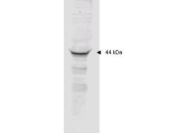MAPKAPK2 / MAPKAP Kinase 2 Antibody - Anti-MAPKAP Kinase 2 Polyclonal Antibody - Western Blot. Affinity purified anti-MAPKAP Kinase 2 polyclonal antibody detects MK2 in unstimulated human HeLa whole cell lysate by western blot. Polyclonal rabbit-anti-MAPKAP Kinase 2 used at a 1:2000 dilution to detect 20 ug of whole cell lysate containing MK2. This antibody detects a single 44 kD protein as indicated in crude extracts prepared from either unstimulated or TNFa stimulated human HeLa cell lysates. A 4-20% gradient gel was used to separate the protein by SDS-PAGE. The protein was transferred to nitrocellulose using standard methods. After blocking the membrane was probed with the primary antibody for 1 h at room temperature followed by washes and reaction with a 1:5000 dilution of IRDye800 conjugated Gt-a-Rabbit IgG [H&L] (code for 30 min at room temperature. LICORs Odyssey Infrared Imaging System was used to scan and process the image. Other detection systems will yield similar results.