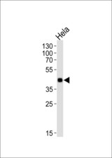 Western blot of lysate from HeLa cell line, using Mouse Mapkapk3 Antibody. Antibody was diluted at 1:1000. A goat anti-rabbit IgG H&L (HRP) at 1:10000 dilution was used as the secondary antibody. Lysate at 35ug.