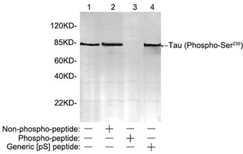 Western blot analysis of mouse brain tissue lysate using 2 µg/ml Rabbit Anti-Tau (Phospho-Ser 235 ) Polyclonal Antibody Lane 1: Rabbit Anti-Tau (Phospho-Ser 235 ) Polyclonal Antibody Lane 2: Rabbit Anti-Tau (Phospho-Ser 235 ) Polyclonal Antibody pre-incubated with non-phospho-peptide Lane 3: Rabbit Anti-Tau (Phospho-Ser 235 ) Polyclonal Antibody pre-incubated with phospho-peptide Lane 4: Rabbit Anti-Tau (Phospho-Ser 235 ) Polyclonal Antibody pre-incubated with generic phospho-serine containing peptide The signal was developed with IRDye TM 800 Conjugated Goat Anti-Rabbit IgG.