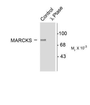 Western blot of rat brain lysate showing specific immunolabeling of the ~87k MARCKS protein phosphorylated at Serr152156 (Control). The phosphospecificity of this labeling is shown in the second lane (lambda-phosphatase: l-Ptase). The blot is identical to the control except that it was incubated in l-Ptase (1200 units for 30 min) before being exposed to the Anti-Ser152156 MARCKS. The immunolabeling is completely eliminated by treatment with l-Ptase.