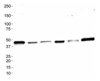 Western Blot: MAS1 Antibody - Analysis of MAS1 in: 1. Ntera 2, 2. A431, 3. HepG2, 4. MCF7, 5. 3T3 and 6. Cos7.  This image was taken for the unconjugated form of this product. Other forms have not been tested.