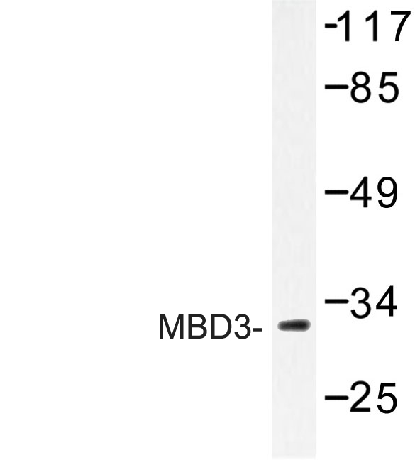 Western blot of MBD3 (H250) pAb in extracts from Jurkat cells.