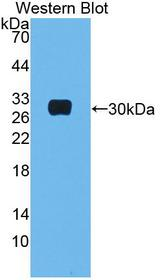 MBL2 / Mannose Binding Protein Antibody - Western Blot; Sample: Recombinant protein.