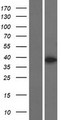 MBNL3 Protein - Western validation with an anti-DDK antibody * L: Control HEK293 lysate R: Over-expression lysate