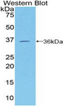 MCAM / CD146 Antibody - Western blot of recombinant MCAM / CD146.  This image was taken for the unconjugated form of this product. Other forms have not been tested.