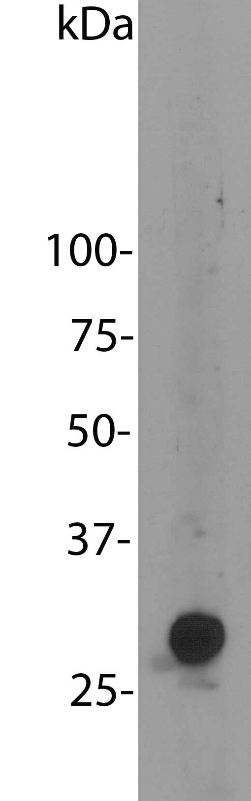 Blot of HEK293 cells transfected with pFin-EF1-mCherry vector, courtesy of the Semple-Rowland lab at the University of Florida. There is a strong clean band at about 30 kDa. HEK293 cells which were not transfected with this vector show no protein bands.