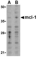 Western blot of Mcl-1 in Raji cell lysates with Mcl-1 antibody at (A) 1 and (B) 2 ug/ml.