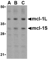 Western blot of Mcl-1 in Raji cell lysates with Mcl-1 antibody at (A) 0.5, (B) 1, and (C) 2 ug/ml.