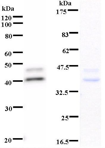 Western blot of immunized recombinant protein using MCM2 antibody. Left: MCM2 staining. Right: Coomassie Blue staining of immunized recombinant protein.