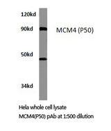 Western blot of MCM4 (P50) pAb in extracts from HeLa cells.