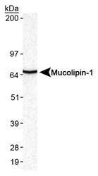 MCOLN1 / Mucolipin 1 Antibody - Detection of Mucolipin-1 in mouse brain lysates.  This image was taken for the unconjugated form of this product. Other forms have not been tested.