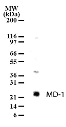 Western blot of MD-1 in cell lysates from Ramos using antibody at 2 ug/ml dilution.