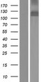 MDGA1 Protein - Western validation with an anti-DDK antibody * L: Control HEK293 lysate R: Over-expression lysate