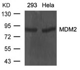 Western blot of extracts from 293 and HeLa cells using MDM2 antibody.