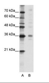 MED27 / CRSP8 Antibody - A: Marker, B: HepG2 Cell Lysate.  This image was taken for the unconjugated form of this product. Other forms have not been tested.