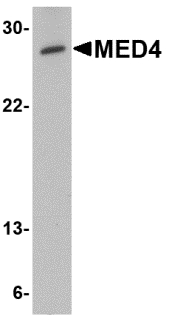 Western blot of MED4 in human testis tissue lysate with MED4 antibody at 0.5 ug/ml.