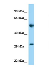 MEMO1 antibody Western blot of Rat Brain lysate. Antibody concentration 1 ug/ml.  This image was taken for the unconjugated form of this product. Other forms have not been tested.