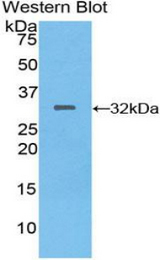 Western blot of recombinant MEP1A.  This image was taken for the unconjugated form of this product. Other forms have not been tested.