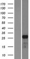 MESP1 Protein - Western validation with an anti-DDK antibody * L: Control HEK293 lysate R: Over-expression lysate