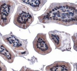MFN1 Antibody - Immunohistochemistry: Mitofusin-1 Antibody - IHC of Mfn1 in mouse intestine.  This image was taken for the unconjugated form of this product. Other forms have not been tested.