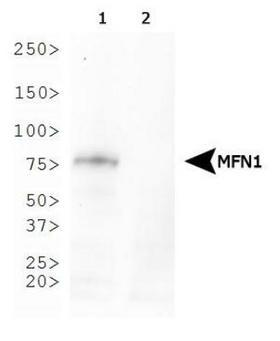 MFN1 Antibody - Western Blot: Mitofusin-1 Antibody (11E9-1H12) - Analysis of Mitofusin-1 expression in 1) MEF wild-type and 2) MEF Mitofusin-1-null whole cell lysates.  This image was taken for the unconjugated form of this product. Other forms have not been tested.