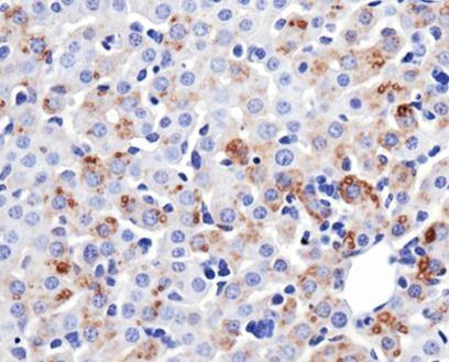 MFN1 Antibody - Immunohistochemistry-Paraffin: Mitofusin-1 Antibody (11E9-1H12) - IHC of Mitofusin-1 in mouse liver.  This image was taken for the unconjugated form of this product. Other forms have not been tested.