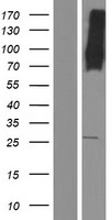 MFSD6 Protein - Western validation with an anti-DDK antibody * L: Control HEK293 lysate R: Over-expression lysate