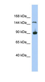 MGC50722 Antibody - MGC50722 antibody Western blot of 293T cell lysate. This image was taken for the unconjugated form of this product. Other forms have not been tested.