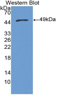 Western blot of recombinant MGST1.