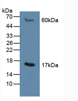 Western Blot; Sample: Rat Liver Tissue.