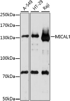MICAL1 / MICAL Antibody - Western blot analysis of extracts of various cell lines, using MICAL1 antibody at 1:1000 dilution. The secondary antibody used was an HRP Goat Anti-Rabbit IgG (H+L) at 1:10000 dilution. Lysates were loaded 25ug per lane and 3% nonfat dry milk in TBST was used for blocking. An ECL Kit was used for detection and the exposure time was 90s.