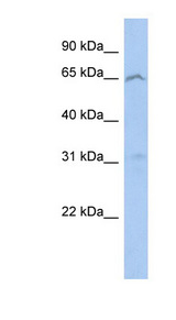 MICU3 / EFHA2 Antibody - EFHA2 antibody Western blot of 293T cell lysate. This image was taken for the unconjugated form of this product. Other forms have not been tested.