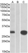 MID1IP1 Antibody - HEK293 lysate (10ug protein in RIPA buffer) overexpressing Human MID1IP1 with C-terminal MYC tag probed with (1ug/ml) in Lane A and probed with anti-MYC Tag (1/1000) in lane C. Mock-transfected HEK293 probed (1mg/ml) in Lane B. Prim