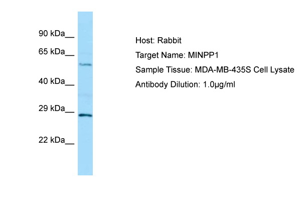 MINPP1 Antibody -  This image was taken for the unconjugated form of this product. Other forms have not been tested.