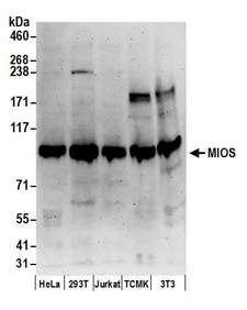 MIOS / FLJ20323 Antibody - Detection of human and mouse MIOS by western blot. Samples: Whole cell lysate (50 µg) from HeLa, HEK293T, Jurkat, mouse TCMK-1, and mouse NIH 3T3 cells prepared using NETN lysis buffer. Antibodies: Affinity purified rabbit anti-MIOS antibody used for WB at 0.1 µg/ml. Detection: Chemiluminescence with an exposure time of 3 minutes.