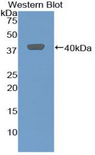 Western blot of recombinant MIP-2 / GRO2 / CXCL2.
