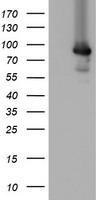 MIPEP Antibody - HEK293T cells were transfected with the pCMV6-ENTRY control (Left lane) or pCMV6-ENTRY MIPEP (Right lane) cDNA for 48 hrs and lysed. Equivalent amounts of cell lysates (5 ug per lane) were separated by SDS-PAGE and immunoblotted with anti-MIPEP.