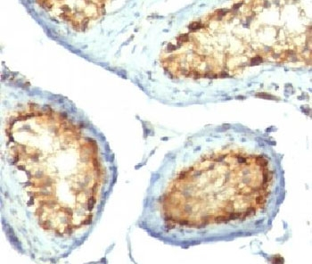 Mitochondria Antibody - IHC testing of FFPE human testicular carcinoma with Mitochondrial Marker antibody (clone 113-1) This image was taken for the unmodified form of this product. Other forms have not been tested.