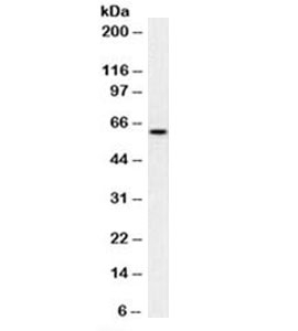Mitochondria Antibody - Western blot testing of human HeLa cell lysate with Mitochondria antibody (clone MTC02). This image was taken for the unmodified form of this product. Other forms have not been tested.