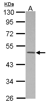 Sample (30 ug of whole cell lysate) A: HeLa 10% SDS PAGE MKRN2 antibody diluted at 1:500