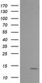 HEK293T cells were transfected with the pCMV6-ENTRY control (Left lane) or pCMV6-ENTRY MLANA (Right lane) cDNA for 48 hrs and lysed. Equivalent amounts of cell lysates (5 ug per lane) were separated by SDS-PAGE and immunoblotted with anti-MLANA.