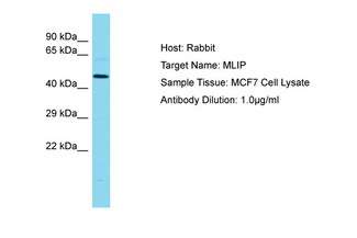 MLIP Antibody -  This image was taken for the unconjugated form of this product. Other forms have not been tested.