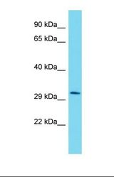 MLIP Antibody - Western blot of Human HepG2. MLIP antibody dilution 1.0 ug/ml.  This image was taken for the unconjugated form of this product. Other forms have not been tested.