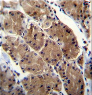 MLNR Antibody immunohistochemistry of formalin-fixed and paraffin-embedded human stomach tissue followed by peroxidase-conjugated secondary antibody and DAB staining.