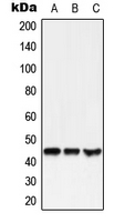Western blot analysis of GPR38 expression in HEK293T (A); SP2/0 (B); NIH3T3 (C) whole cell lysates.